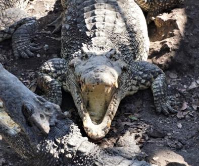Krokodyl kubański