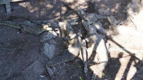 Krokodyle chętnie wygrzewają się na brzegu moczar